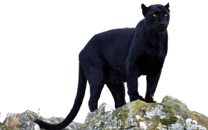 Black_panther_transparent_by_darksoulforver9-d6czu4x