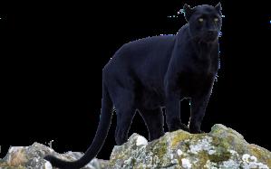 Black_panther_transparent_by_darksoulforver9-d6czu4x