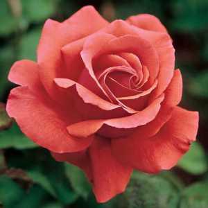 Fragrant Cloud Hybrid Tea Rose