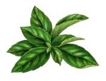 herb-basil