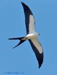 swallow_tailed_Kite_5_LillianStokes
